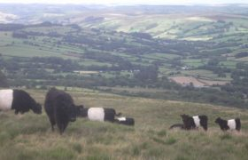 Bryn Belted Galloway Beef