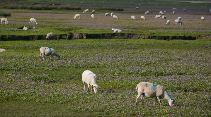 Gower Salt Marsh Lamb