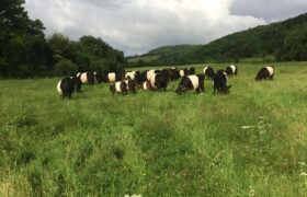 Manor Farm Belted Galloway Beef